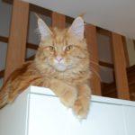 Ellie - kočička Mainská Mívalí